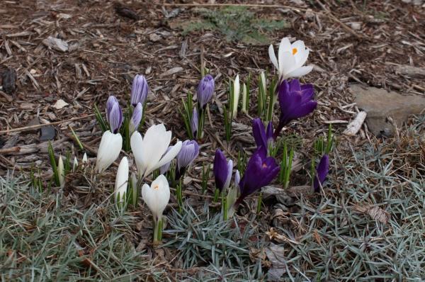 Spring Beauty Unfolding